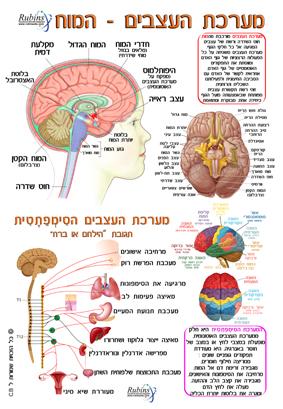 מפת מע עצבים המוח רובינשטיין (1)